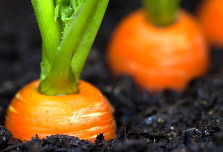 Что делать, чтобы морковь не кудрявилась