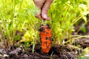 Что делать, чтобы не кудрявилась морковь