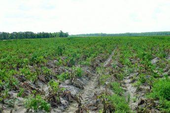 Меры борьбы с фитофторой картофеля
