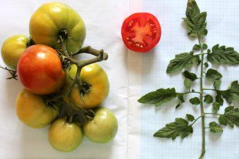 Новые сорта помидоров и огурцов вывели ученые из Новосибирска