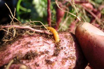 Проволочник в картошке