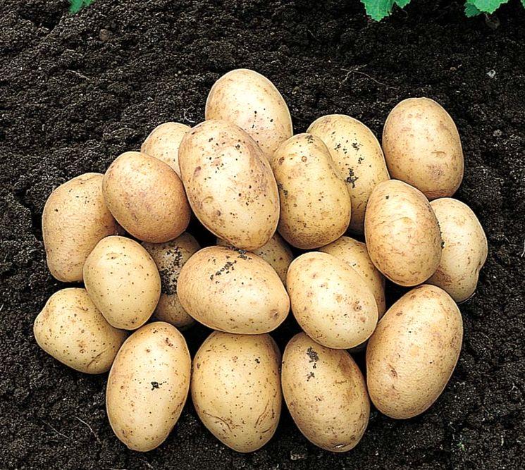 Раннеспелые сорта картофеля