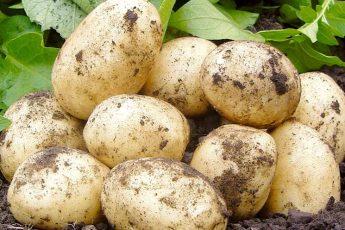 Раннеспелые сорта картошки