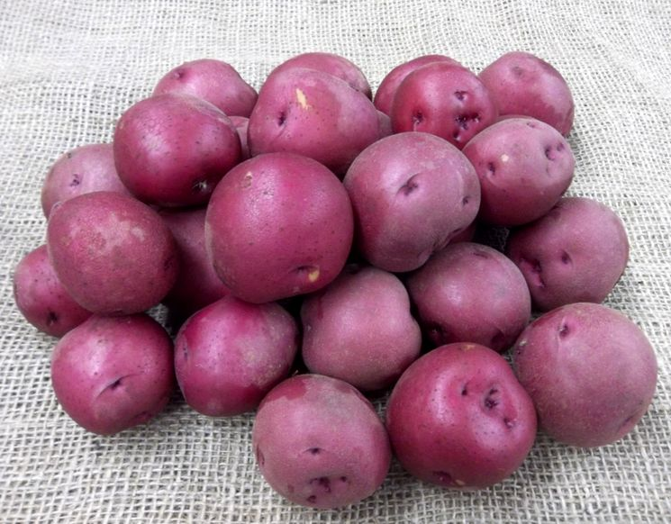 Селекция и производство картофеля