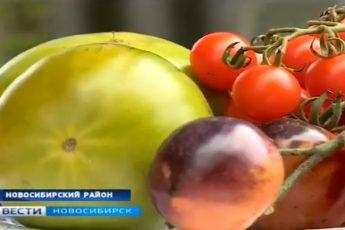 СибНИИРС вывел новые сорта разноцветных помидор: черные, белые, зелёные