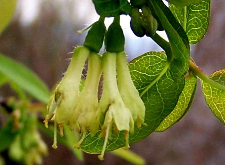 Цветы ягодной жимолости