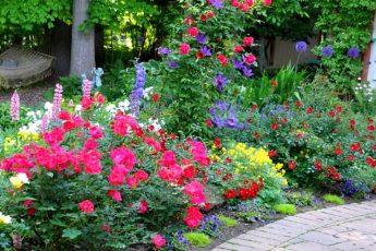 Уход за клумбовыми розами