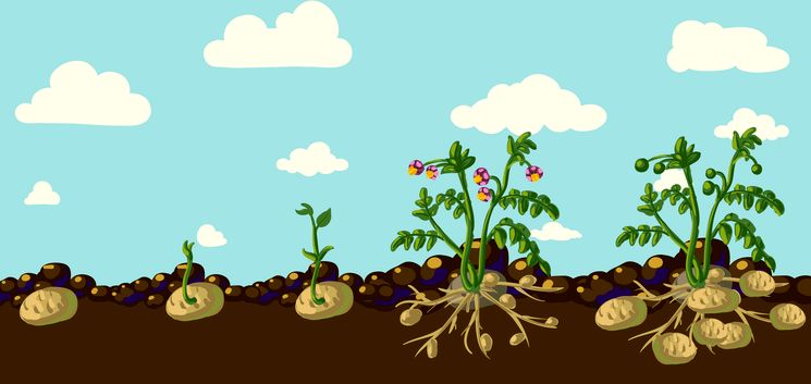 Урожайность картофеля