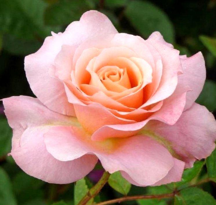 Выращивание чайно-гибридных роз