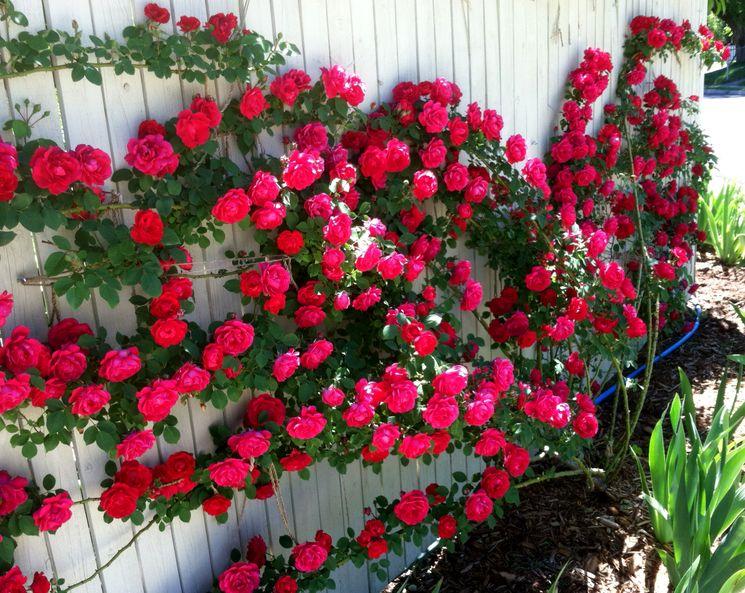 Выращивание розы плетистой
