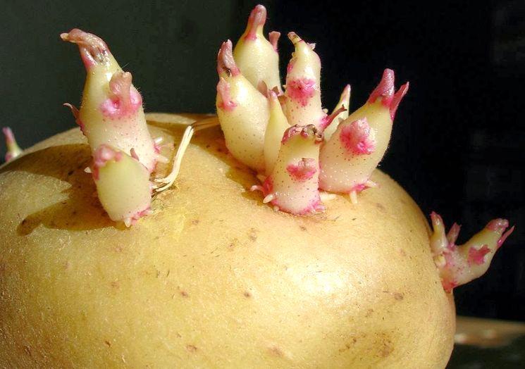 Яровизация картошки