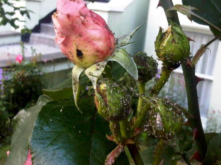 Зелёная розанная тля