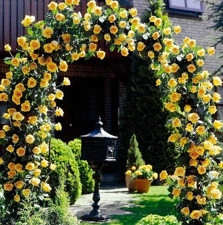 Желтая роза плетистая